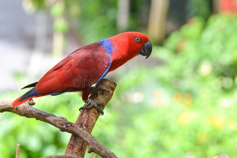 Download Eclectus Parrot (Eclectus Roratus) Stock Photography - Image: 26482802