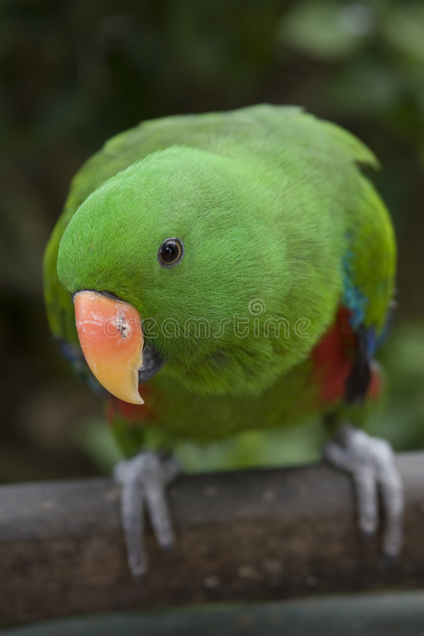 Free Eclectus Parrot - Male Royalty Free Stock Photo - 4183015