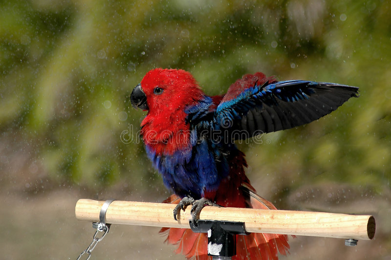 Eclectus Parrot Showering stock photos
