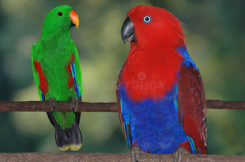 Download Eclectus parrots stock image. Image of eating, birds, color - 5977385