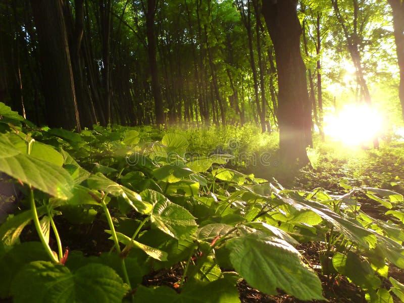 Eclipse da floresta imagem de stock