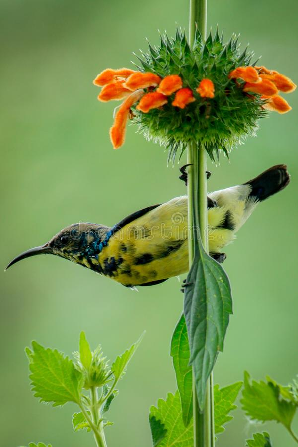 An Eclipse Plumage....!. Purple Sunbird in an Eclipse Plumage. Beauty in Nature stock photography