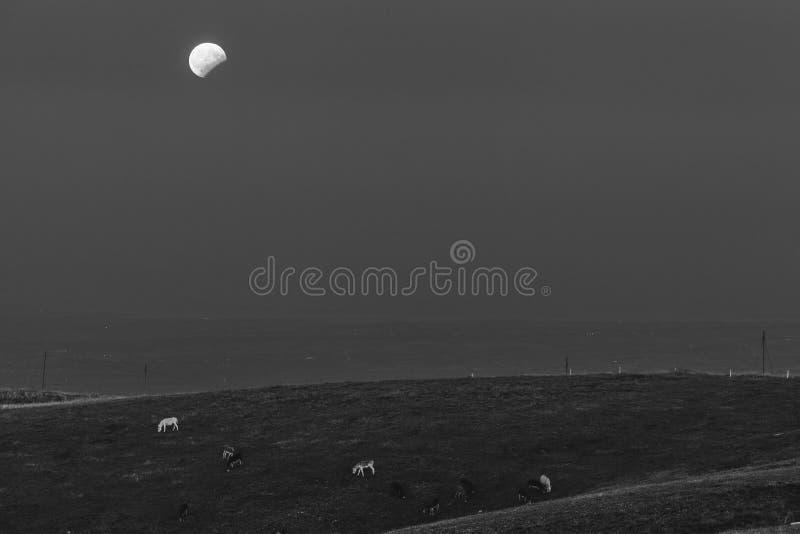 Eclissi in bianco e nero della luna ed asini di pascolo fotografia stock libera da diritti