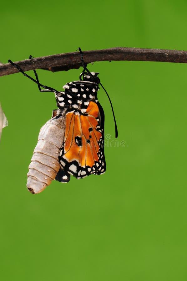 eclosion (10/13)的进程钻出的蝴蝶尝试茧壳,从蛹把变成蝴蝶 免版税库存图片