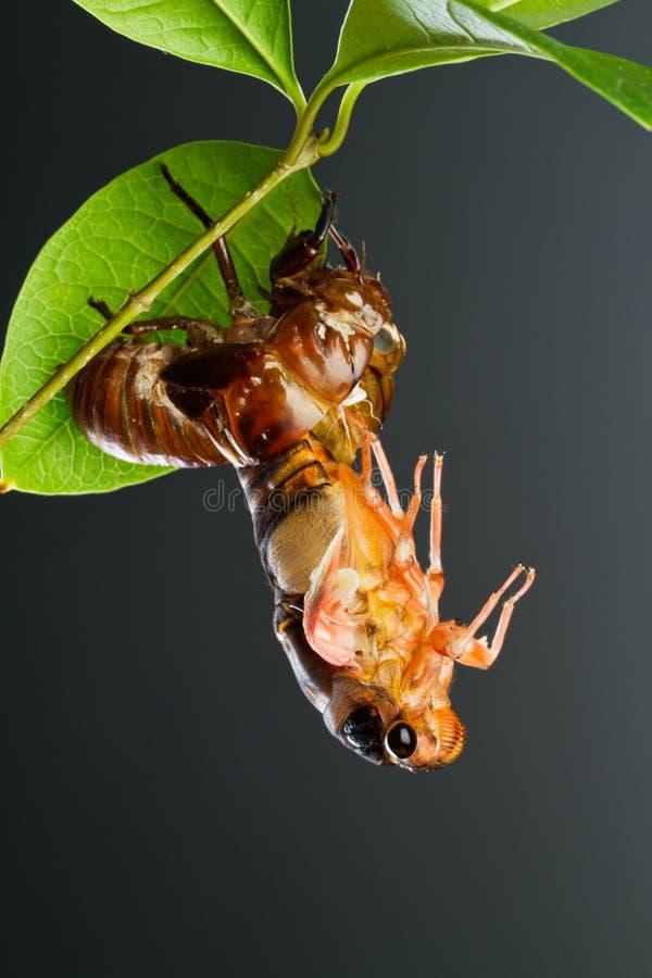 Eclosion 2 van de cicade stock foto