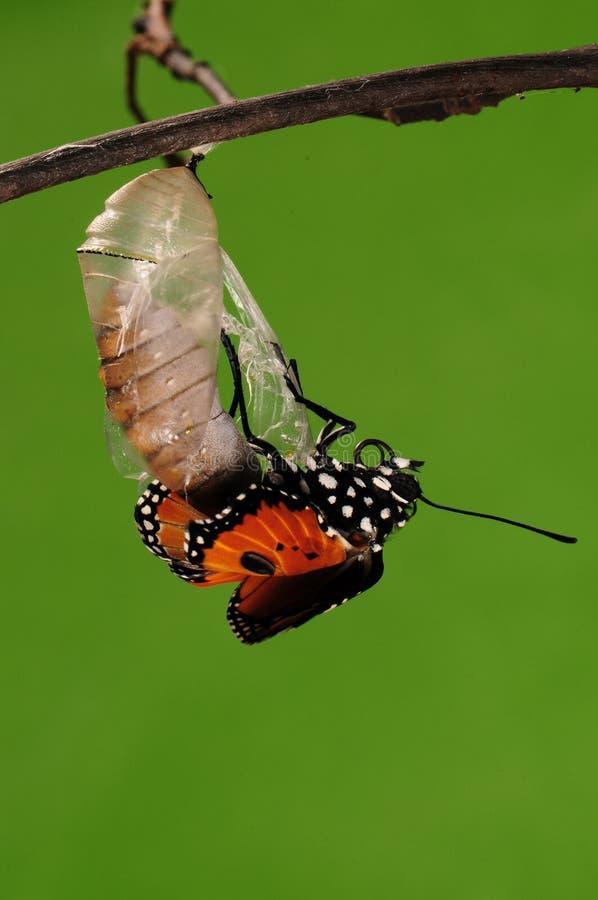 eclosion (6/13)的进程钻出的蝴蝶尝试茧壳,从蛹把变成蝴蝶 免版税图库摄影