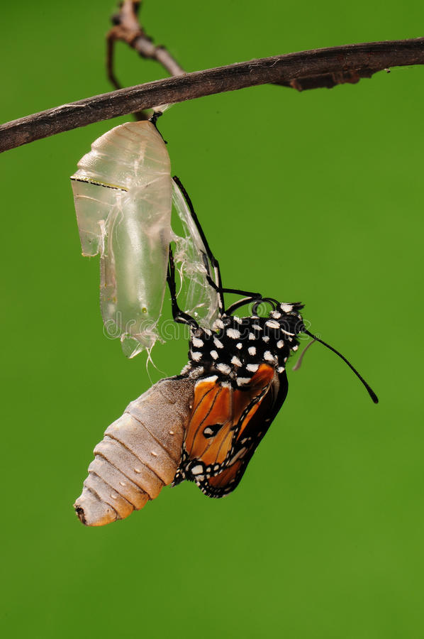 eclosion (8/13)的进程钻出的蝴蝶尝试茧壳,从蛹把变成蝴蝶 免版税库存图片