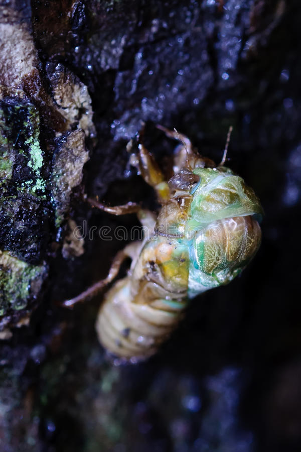 The eclosion of a cicada royalty free stock photography