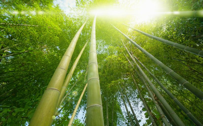 Bright sun shines through green tropical bamboo forest. Eco background - bright sun shines through green tropical bamboo forest stock photos