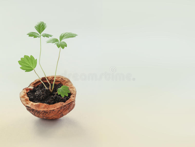 Eco design new life concept. Green sprouts with leaves and walnut shell. macro view growing plant, textured. Gradient stock images