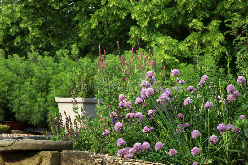 Eco-friendly country garden. Blooming chives on the terrace in rustic, country garden. Ecofriendly cultivation stock images