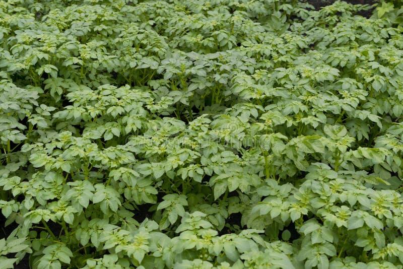 Eco-jonge aardappelplanten in voorjaarstuin stock fotografie