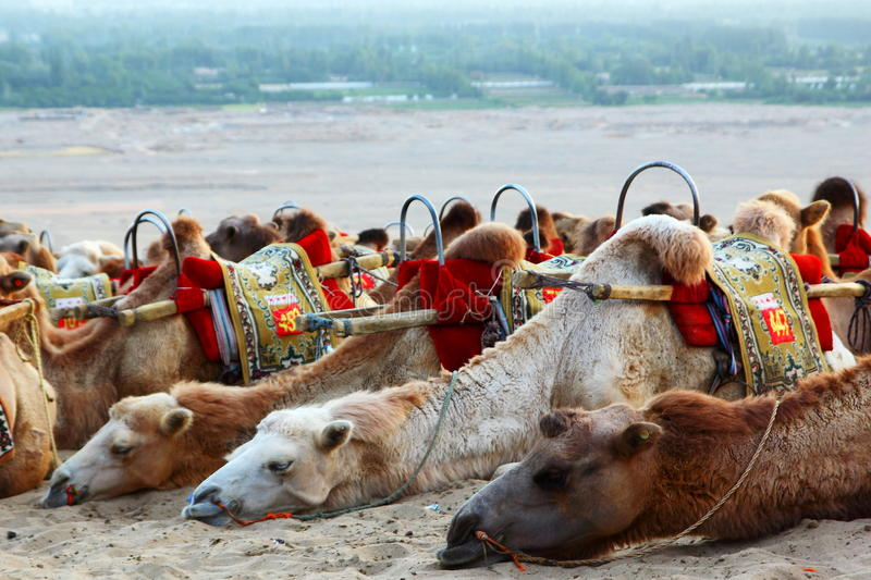 Eco Tourism - Camels Ride - Desert Transport - Dunhuang. A group of camels resting waiting for transporting tourist for a wild experience exploring the desert royalty free stock photos