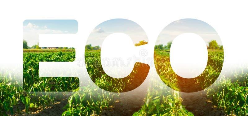 Ecoinschrijving op de achtergrond van het gebied van de peperaanplanting Voorwaarde van de wintergewassen Milieuvriendelijke oogs stock afbeelding