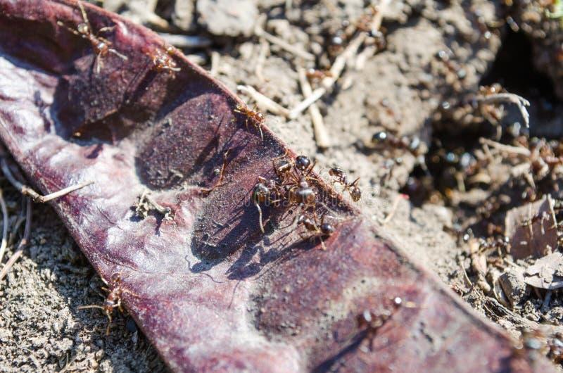 Ecologia Parques dos residentes da cidade Residentes dos gramados insetos Formigas das formigas na grama Grama verde e formigas a imagem de stock