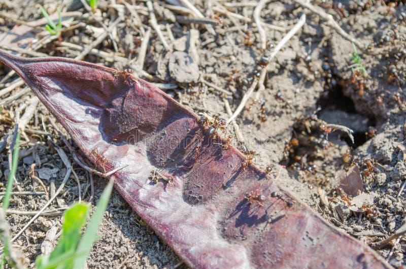Ecologia Parques dos residentes da cidade Residentes dos gramados insetos Formigas das formigas na grama Grama verde e formigas a fotos de stock