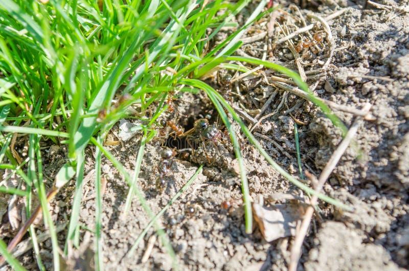 Ecologia Parques dos residentes da cidade Residentes dos gramados insetos Formigas das formigas na grama Grama verde e formigas a imagens de stock