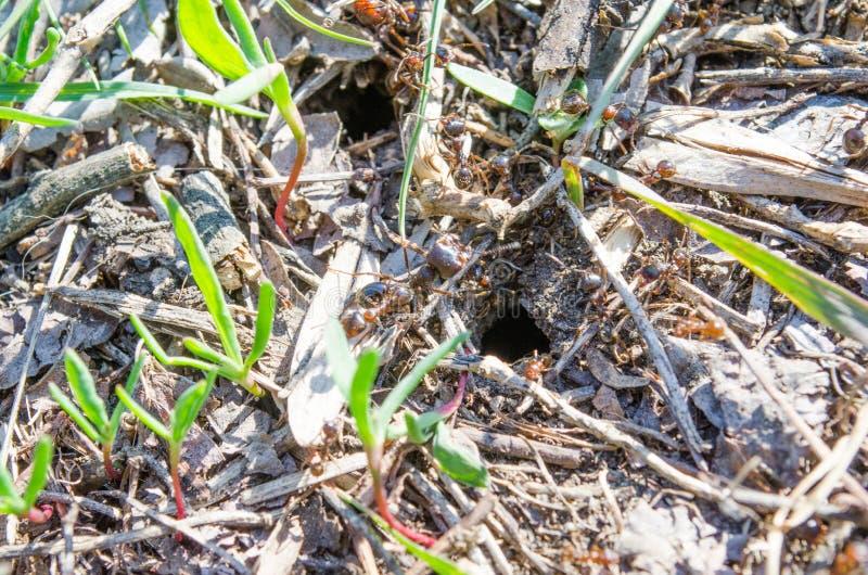 Ecologia Parques dos residentes da cidade Residentes dos gramados insetos Formigas das formigas na grama Grama verde e formigas a foto de stock royalty free