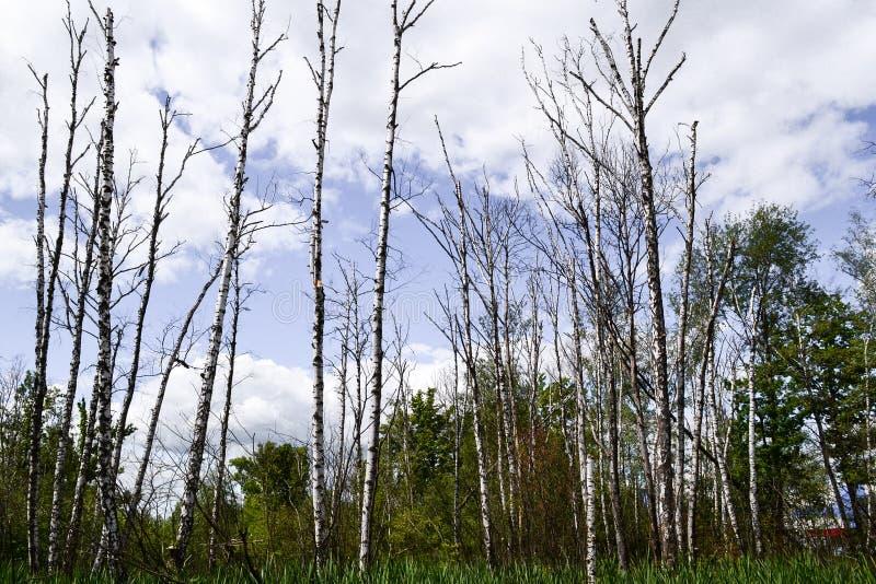 Ecologia ruim Os troncos de árvore secados estão eretos wetlands fotos de stock