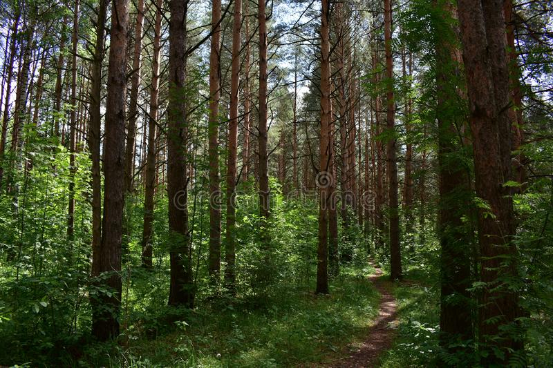 Ecological path pine grove breathe in the fresh air full chest, and feel like you are filled with energy stock image