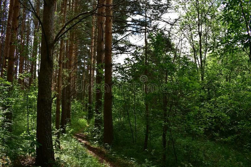 Ecological pine forest trail allows you to study the objects and phenomena of nature. Silent and quiet in the pine forest royalty free stock photo