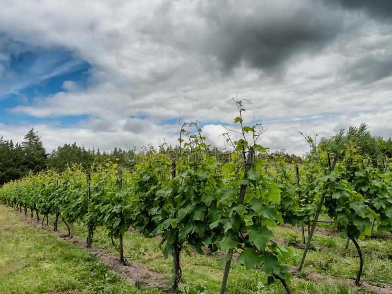 Ecological vinyard in Vedster Vedsted, Esbjerg Denmark. Ecological vinyard in Vedster Vedsted, Esbjerg  Denmark royalty free stock image