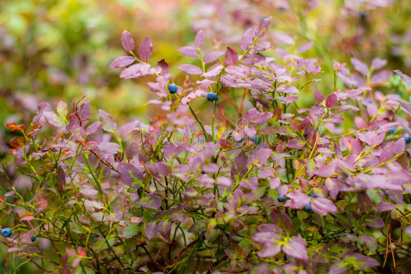 Ecological Wild blueberries in forest stock photo