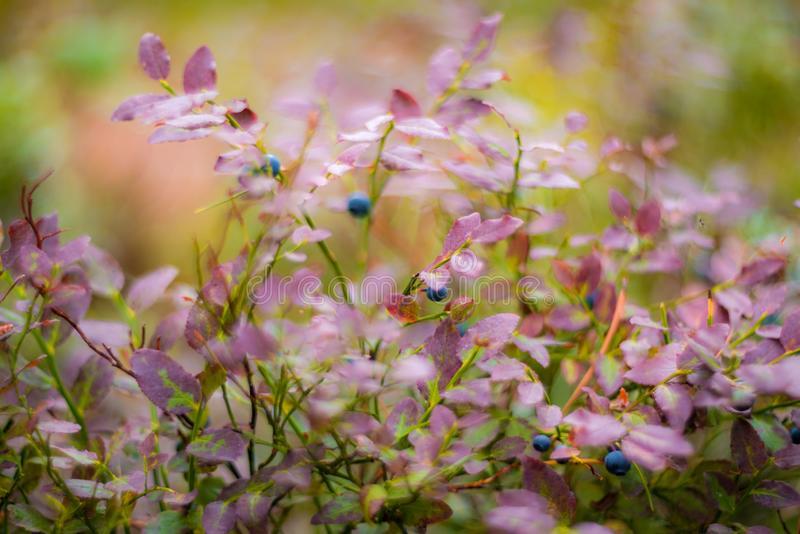 Ecological Wild blueberries in forest royalty free stock photography