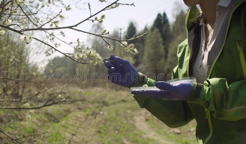 Ecologist getting samples of willow flowers. Damage assessment. Save the nature concept stock images