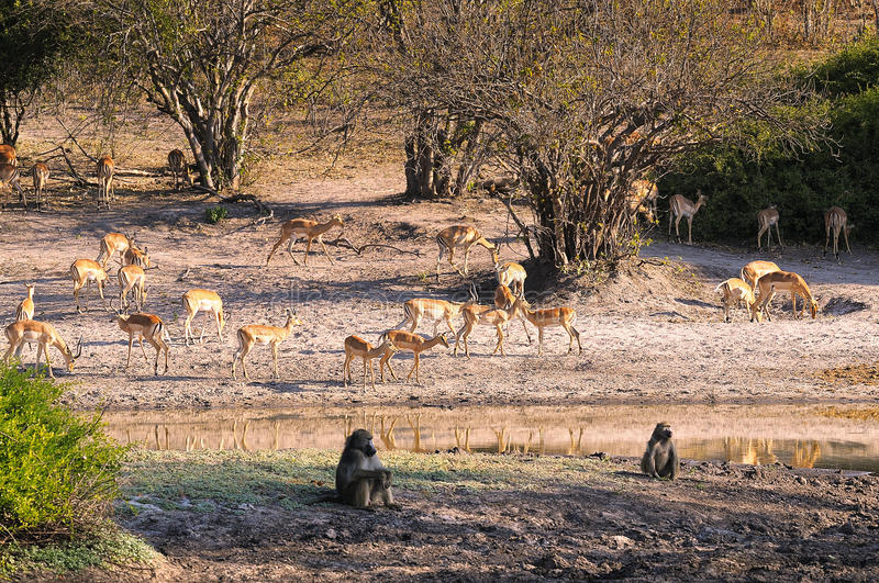 Ecosystem. This picture it was taken in Botswana at Chobe national Park royalty free stock photo