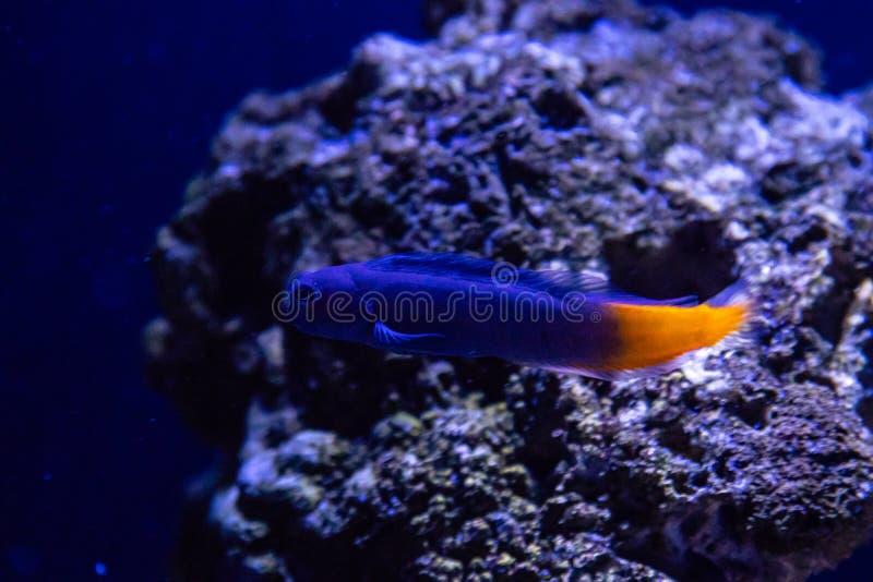 Ecsenius tweekleurige vissen royalty-vrije stock afbeeldingen