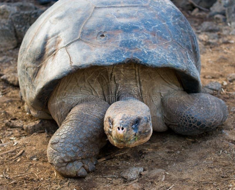 ecuador Galapagos gigantyczny wysp żółw fotografia royalty free