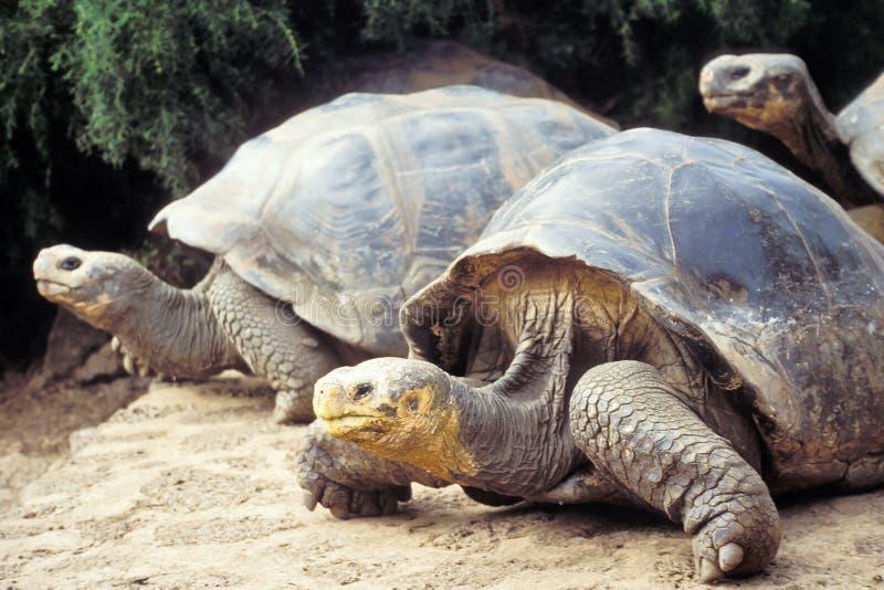 ecuador Galapagos gigantyczny wysp tortoise zdjęcie stock