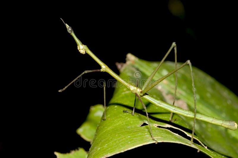 ecuador grön walkingstick royaltyfri foto
