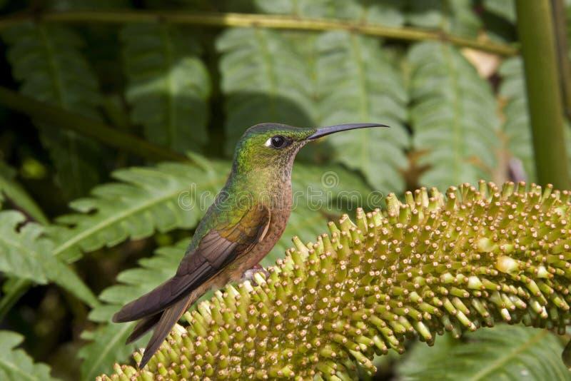 ecuador hummingbird obrazy stock