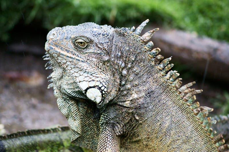 Ecuador Iguana royalty free stock image