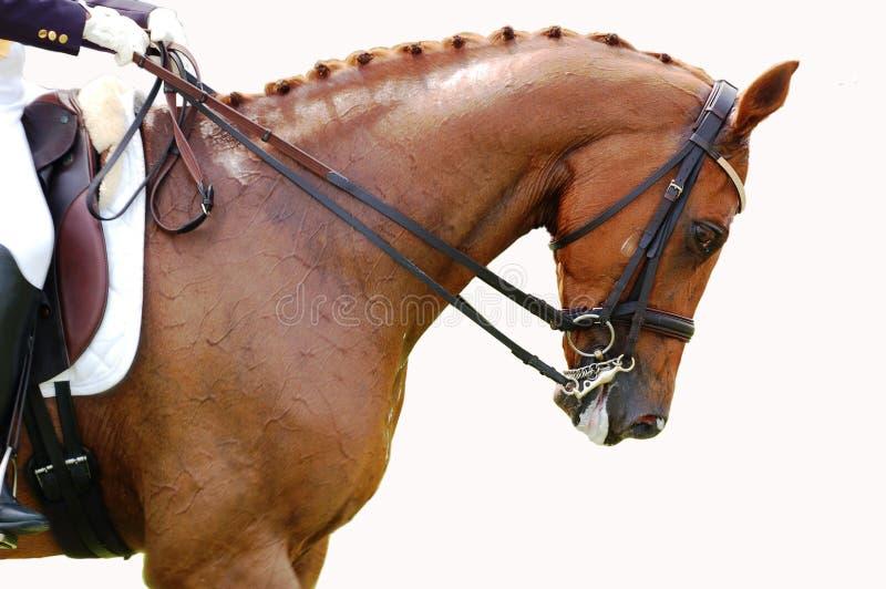 Ecuestre - caballo del Dressage fotos de archivo libres de regalías