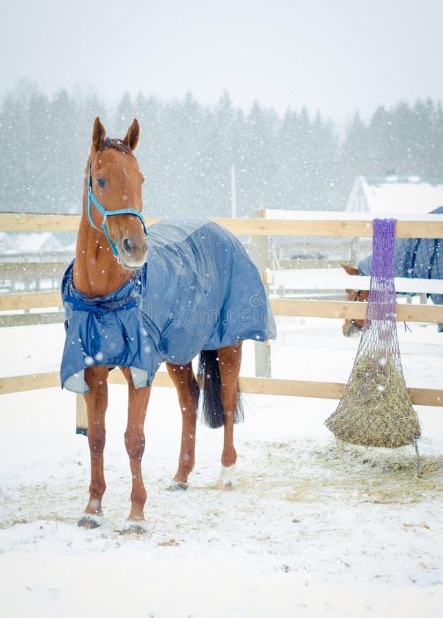 Ed budyonny jument cheval en halter dans le paddock en hiver photos libres de droits