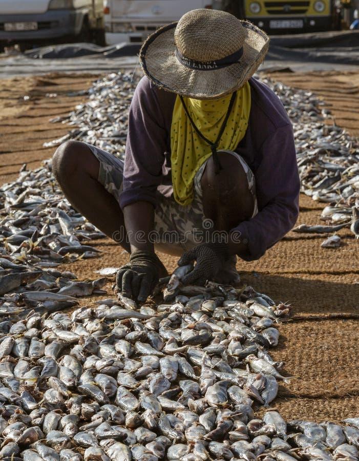 ED-Negombo Sri Lanka - 2019-03-22 - fisk som torkar stranden på Negombo Sri Lanka arkivfoto