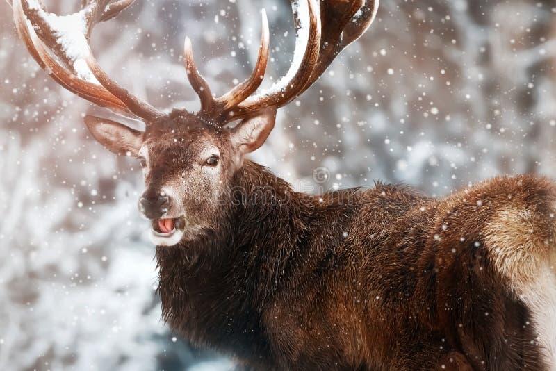 Edel rood hertenmannetje tegen het sprookjesland van de Winterkerstmis van de de wintersneeuw bos Portret van wilde herten in nat stock afbeelding