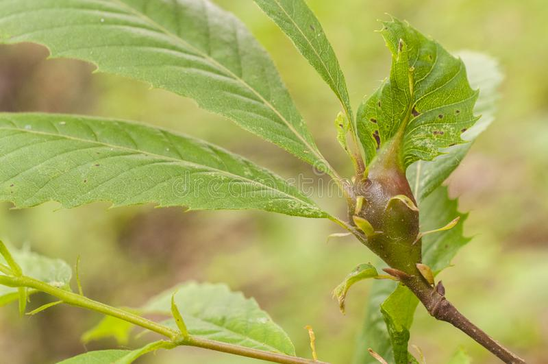 Edelkastaniegallwespe, verursachte Dryocosmus-kuriphilus ein Insekt, das von Asien entsteht lizenzfreies stockfoto