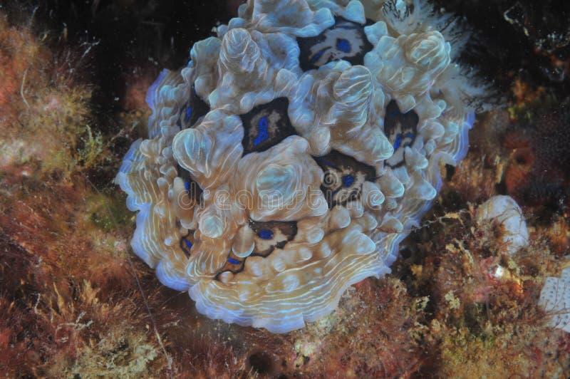 Edelstein nudibranch auf feinen Algen lizenzfreie stockbilder