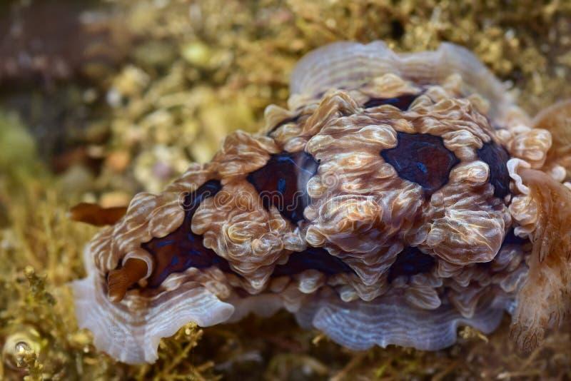 Edelstein nudibranch auf kurzen Algen stockbilder