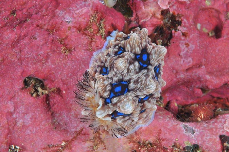 Edelstein nudibranch auf rosa Felsen stockbilder
