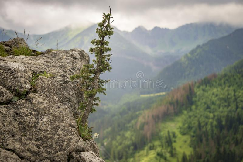 Edelweiss和其他植被在岩石 Nosal Tatra mountai 库存图片