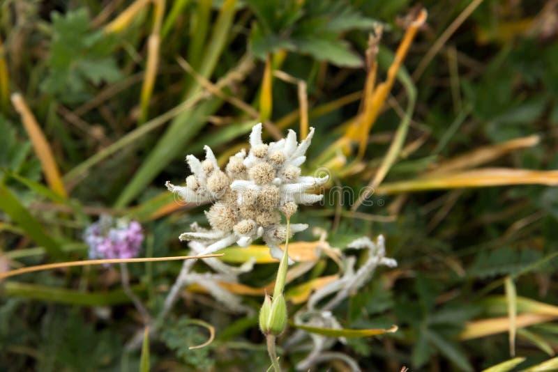Edelweiss图象的花关闭从上面 库存照片