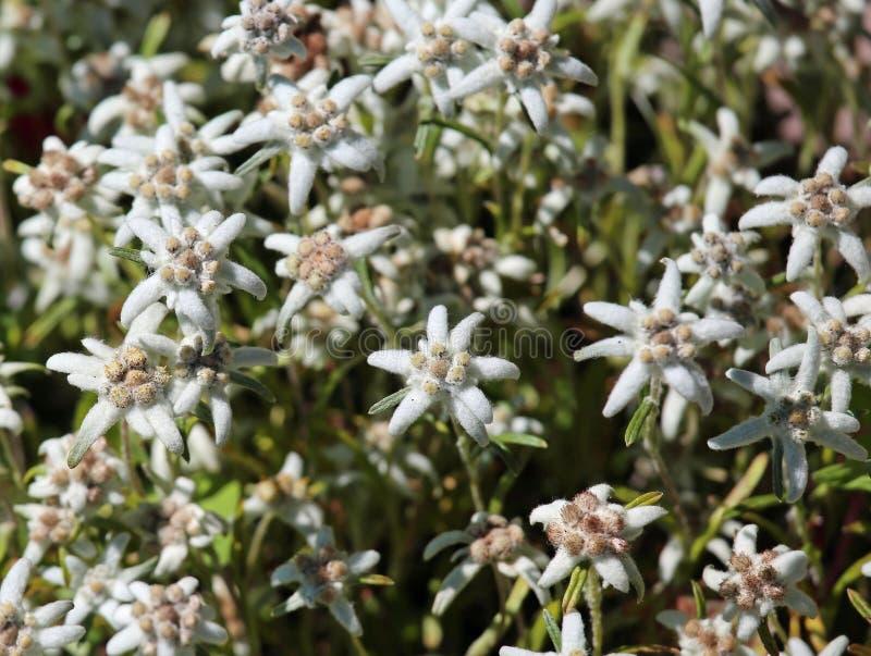 Edelweiss在草甸开花在阿尔卑斯 库存图片