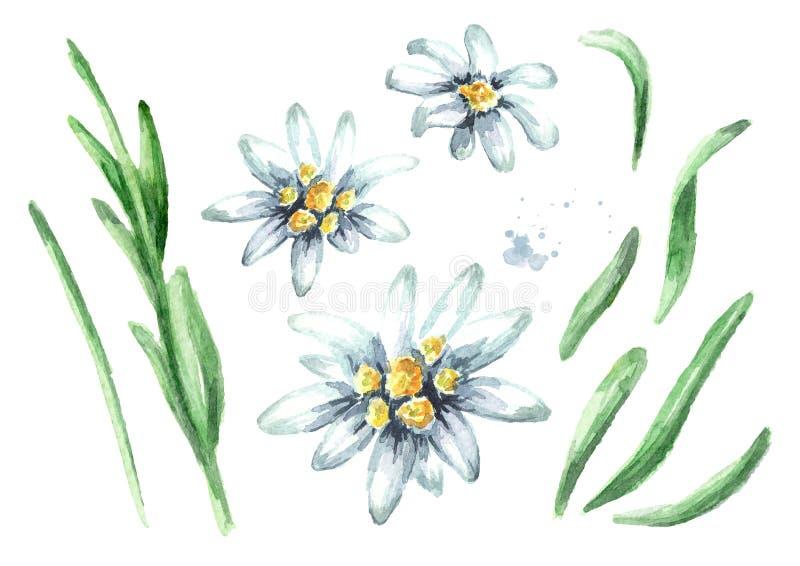 Edelweiss花火绒草属alpinum元素集,在白色背景隔绝的水彩手拉的例证 免版税库存照片
