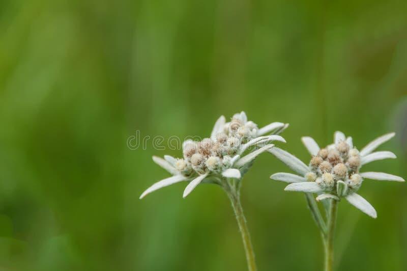 Edelweiss花草甸 库存照片