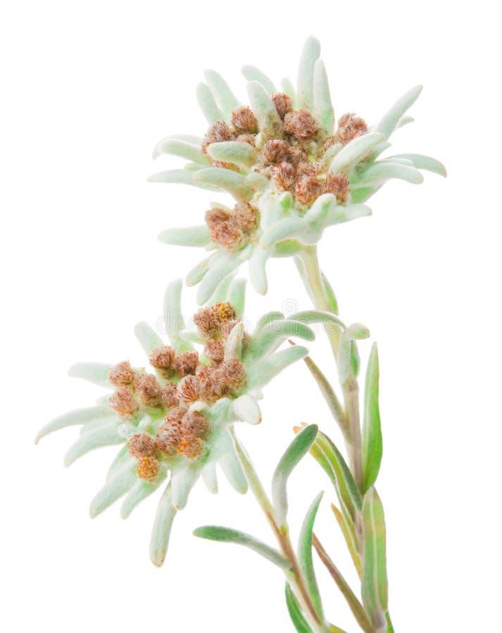 Edelweiss花被隔绝在白色 免版税库存照片